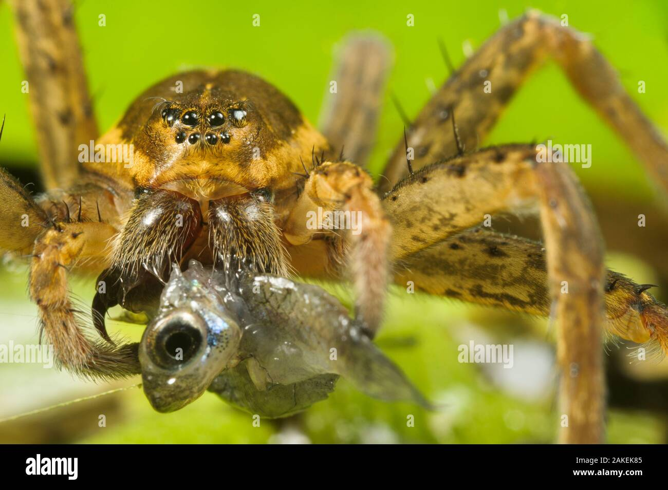 Great Fen / Raft spider (Dolomedes plantarius), adult female eating an invasive species of fish, Western mosquitofish, (Gambusia affinis), Alessandria, Italy, August. Stock Photo