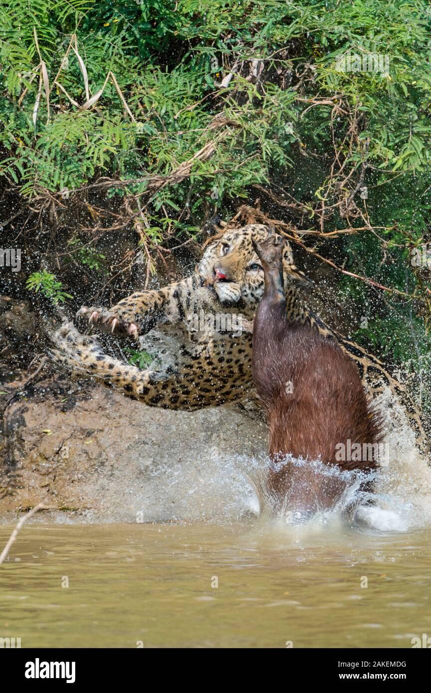 Jaguar (Panthera onca) male, hunting Capybara (Hydrochoerus hydrochaeris). The capybara while  jumping away has cut the nose of the Jaguar with its toemail. Cuiaba River, Pantanal Matogrossense National Park, Pantanal, Brazil. Stock Photo