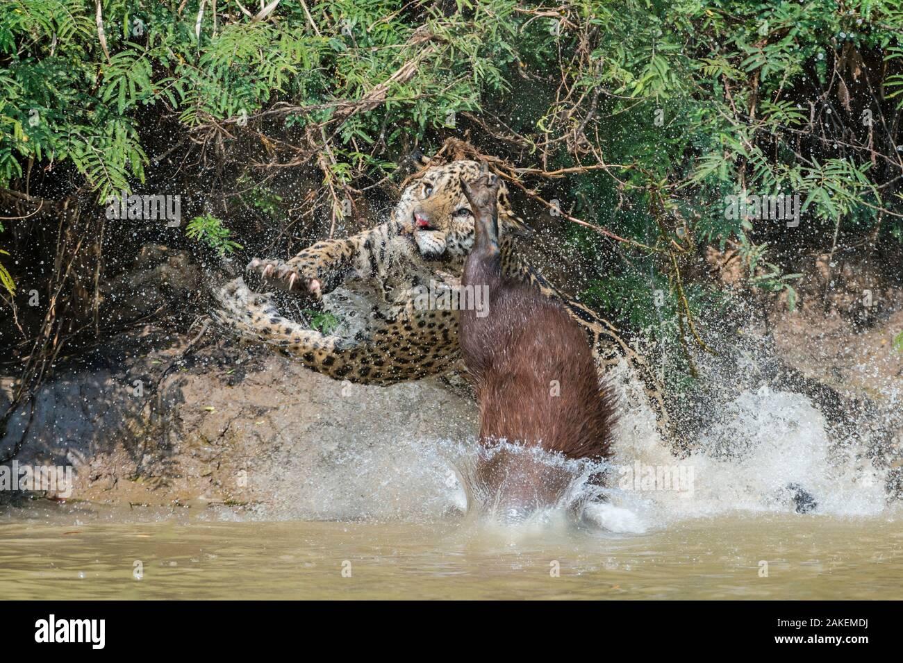 Jaguar (Panthera onca) male, hunting Capybara (Hydrochoerus hydrochaeris). The capybara jumping away has cut the nose of the Jaguar with its toenail. Cuiaba River, Pantanal Matogrossense National Park, Pantanal, Brazil. Sequence 3 of 3 Stock Photo
