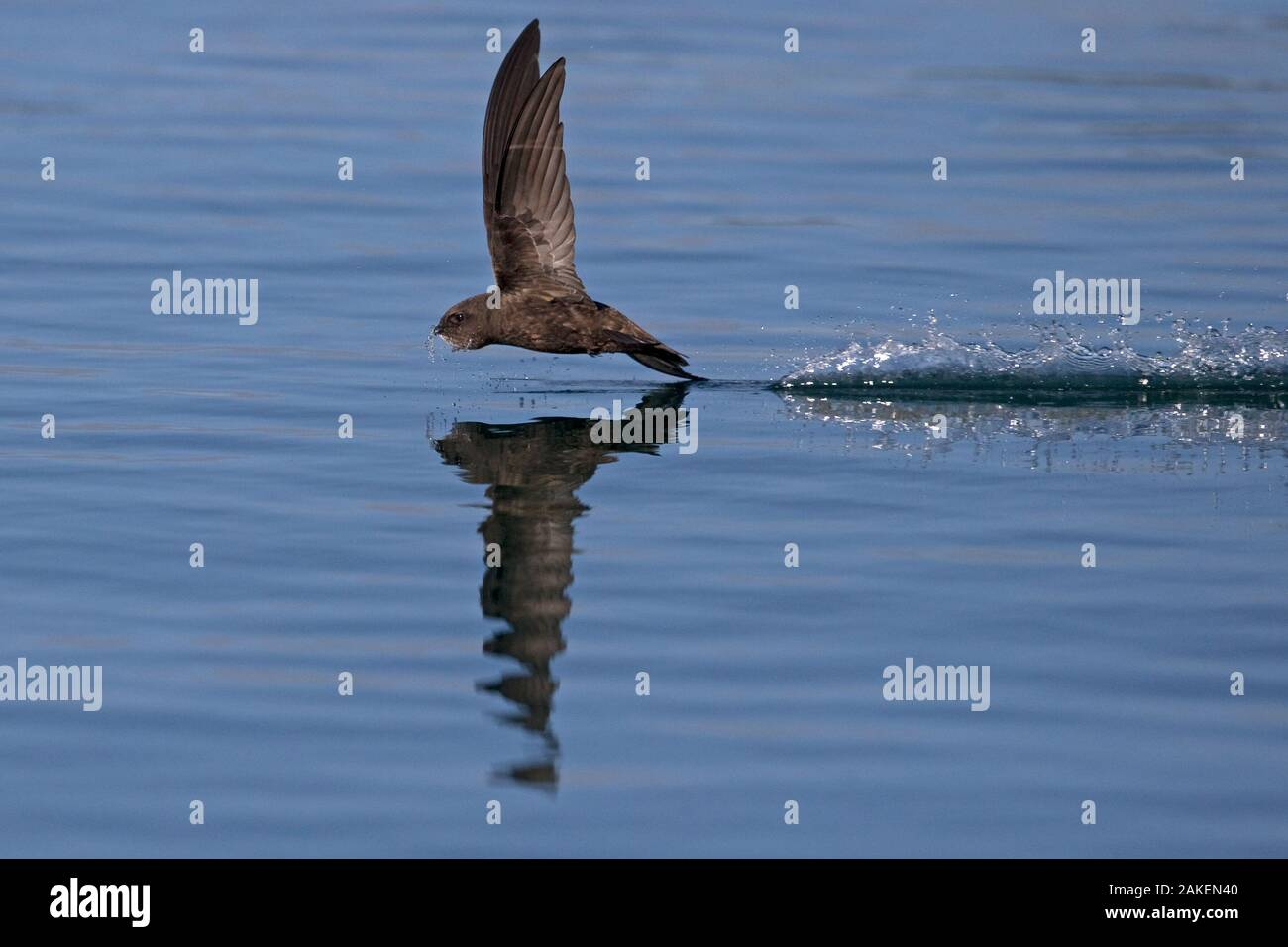 Common Swift (Apus apus) in flight reflected in water, Norfolk, England, UK. July. Stock Photo