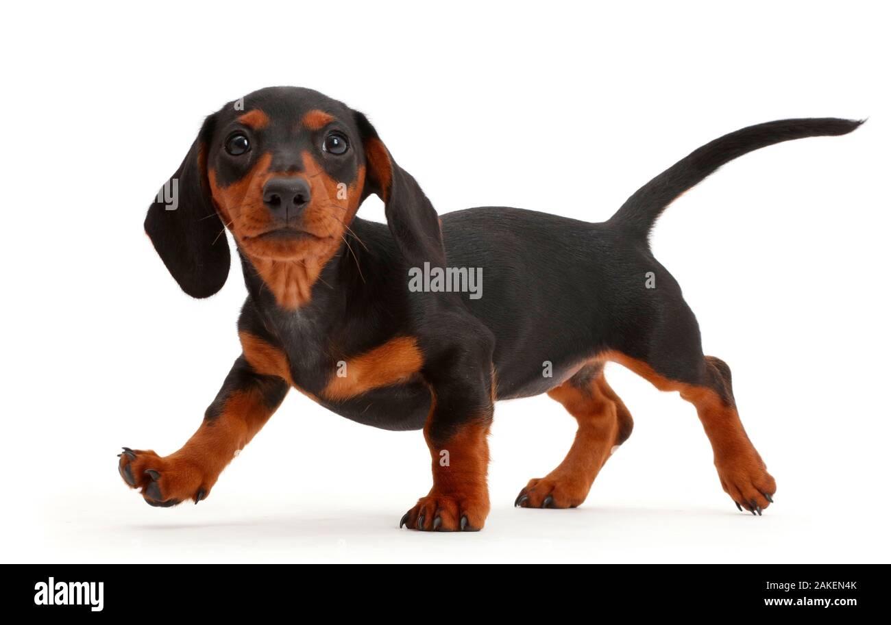Black And Tan Dachshund Puppy Walking Stock Photo Alamy