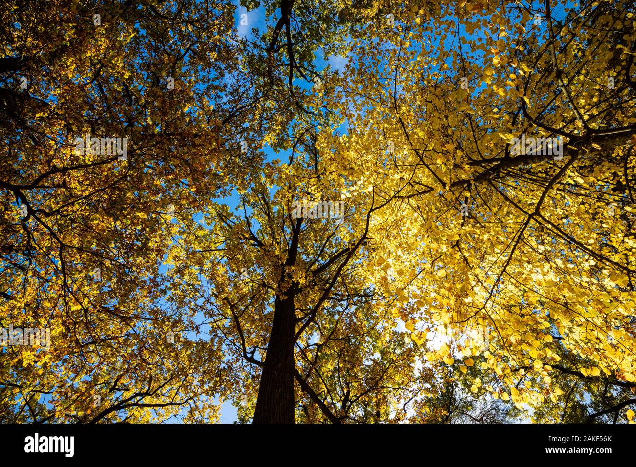 Autumn in the forest. Yellow autumn trees with autumn leaves on sunny blue sky Stock Photo