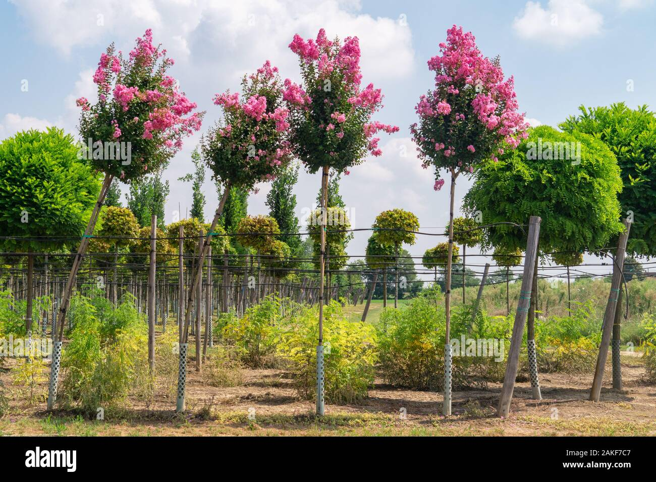 Rows Of Flowering Seedlings Of Lagerstroemia And Decorative Trees