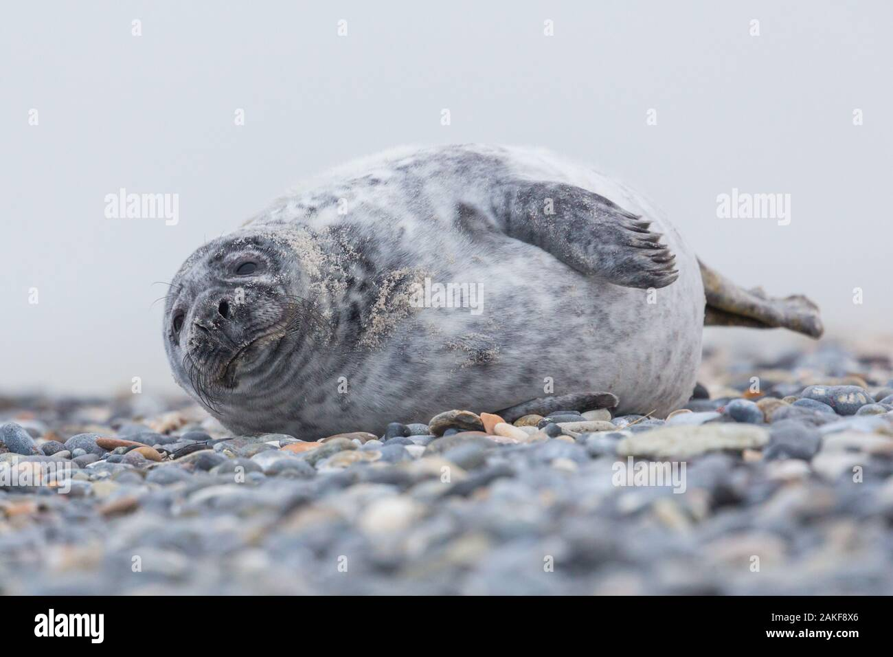 close-up one young gray seal (halichoerus grypus) lying on gravel beach Stock Photo
