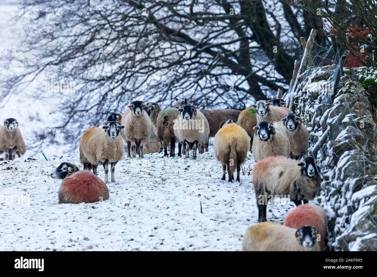 Teesdale, County Durham, UK.  9th January 2020. UK Weather.  Sheep take shelter behind a drystone wall as snow hits upland areas in Teesdale and elsewhere in the North Pennines. Credit: David Forster/Alamy Live News Stock Photo