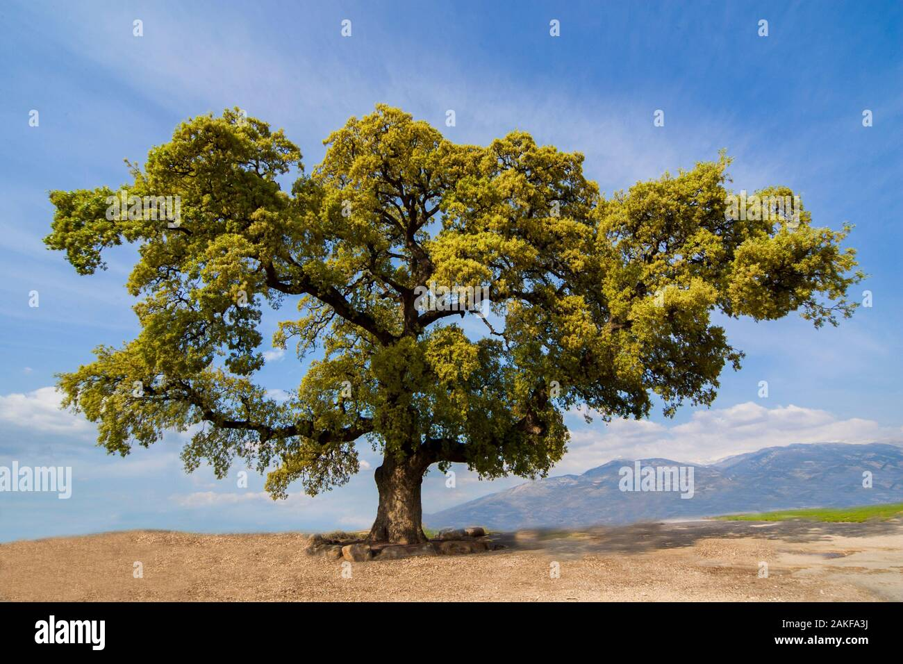 Quercus ithaburensis, the Mount Tabor oak, is a tree in the beech family. Photographed in the Galilee, Israel in March Stock Photo