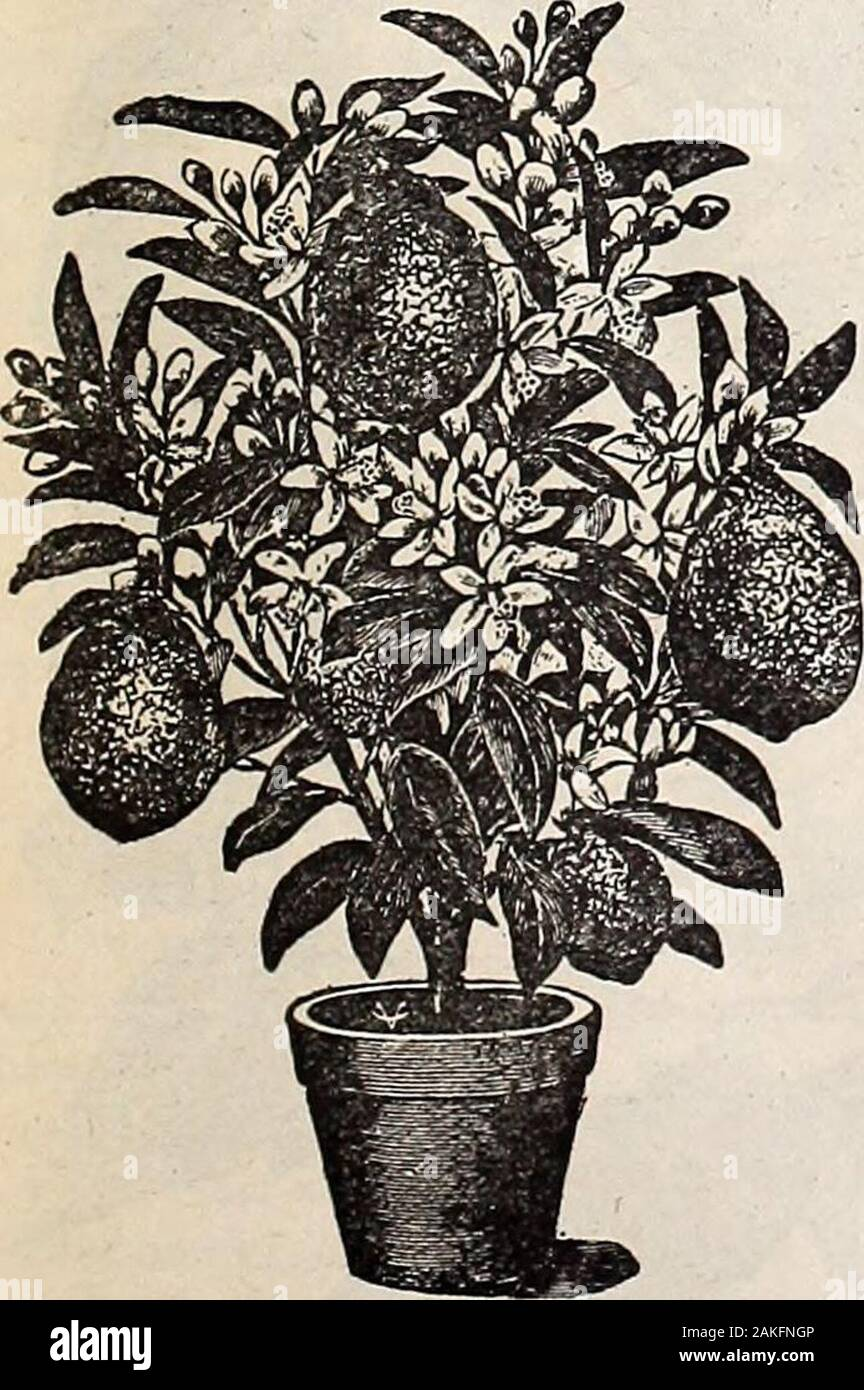 Hastings' seeds : spring 1912 catalogue . ze of a pea up to the ripe fruit, showing it tobe a true ever-bearer. Fruit has been taken from this tree weighing over 4 pounds.The lemons have very thin rind for such large fruit. It is the juiciest of all lemons,makes delicious lemonade, and for culinary purposes cannot be excelled. We havethe true stock of this ponderous lemon, and guarantee the trees to produce the samelarge fruit. No budding or grafting necessary. Ponderosa Lemon is sure to becomepopular when it is known. It fruits when quite small, and makes a lovely houseplant. Everybody can gr Stock Photo