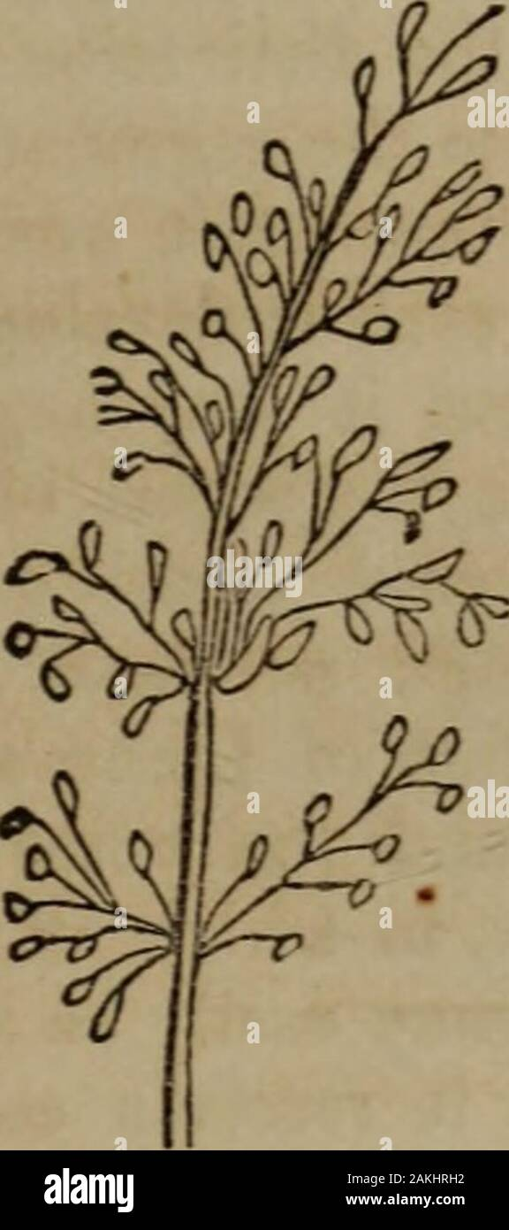 Botany of the Southern states . Raceme.. Panicle. If the secondary axes develop tertiary ones, a panicle isformed (Fig. 117), as in the Poa. The term deliquescentpanicle is applied to that variety of the panicle, when therachis is iost in its irregular divisions, and does not continuedirect through the inflorescence. The ramification of the axesmay proceed further, forming compound panicles. A verydense panicle, with the lower branches shorter than the middleones, is called a thyrsus, as in the Lilac. Stamens. 117. Immediately within the corolla are situated a row oforgans called stamens. The Stock Photo