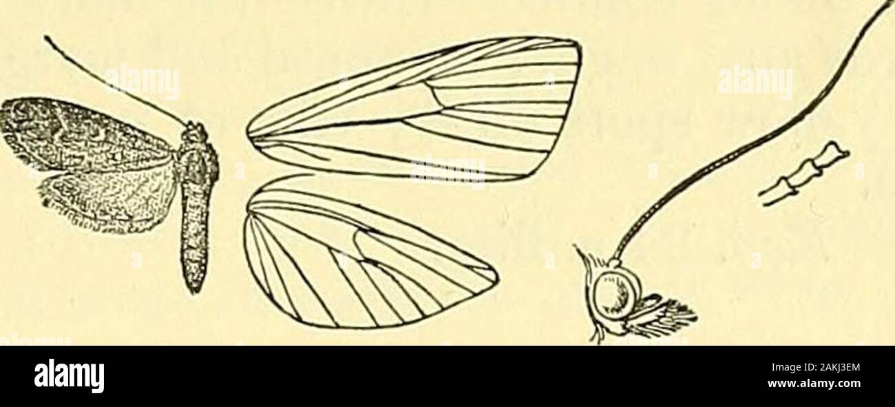 Moths . Wien. Ferz. p. 123. Asopia petnsealis, Dup. Lep. Fr. viii, p. 199, pi. 223, fig. 4.Margaritia longipedalis, Curt. Brit. Ent. vi, pi. 312. Puscous brown, usually with a rufous tinge ; palpi white below ;abdomen ringed with white. Pore wing with obliquely sinuousantemedial dark line; a white discocellular lunule; a postmedialline bent outwards between veins 5 and 2, then retracted to belowend of cell. Hind wing with obscure sinuous postmedial line. Hub. Europe; Armenia ; Dharmsala. Exp. 22 millim. 4735. Stenia spodinopa, Meyr. Trans. Ent. Soc. 1894, p. 469.Stenia profanalis, Smpsn. III. Stock Photo
