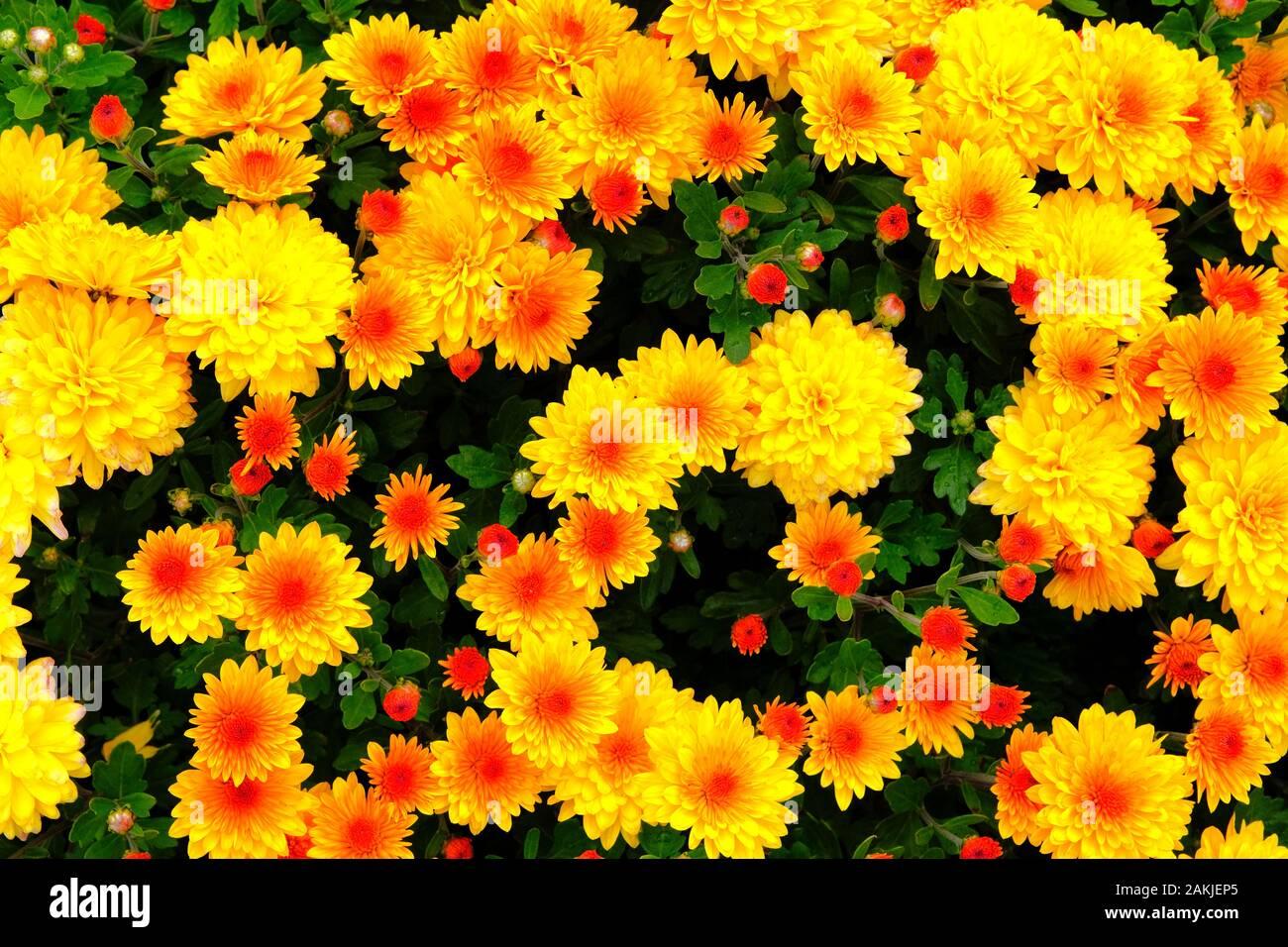 Orange And Yellow Chrysanthemums In Gardening Nursery Chrysanthemums Wallpaper Floral Bright Blooming Background Close Up Stock Photo Alamy