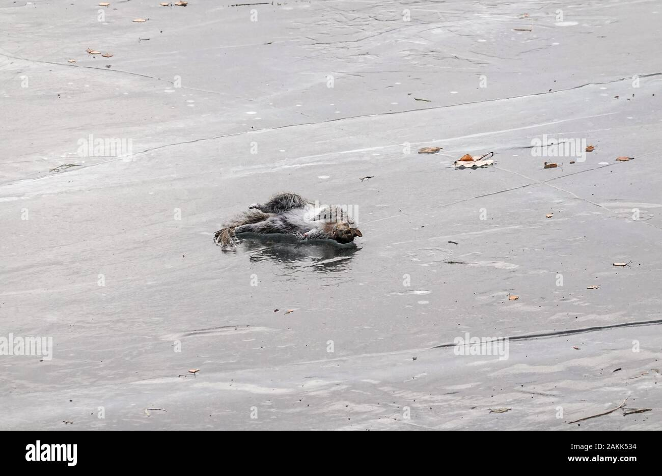 dead squirrel frozen on ice sheet in winter 2019 2020 Stock Photo