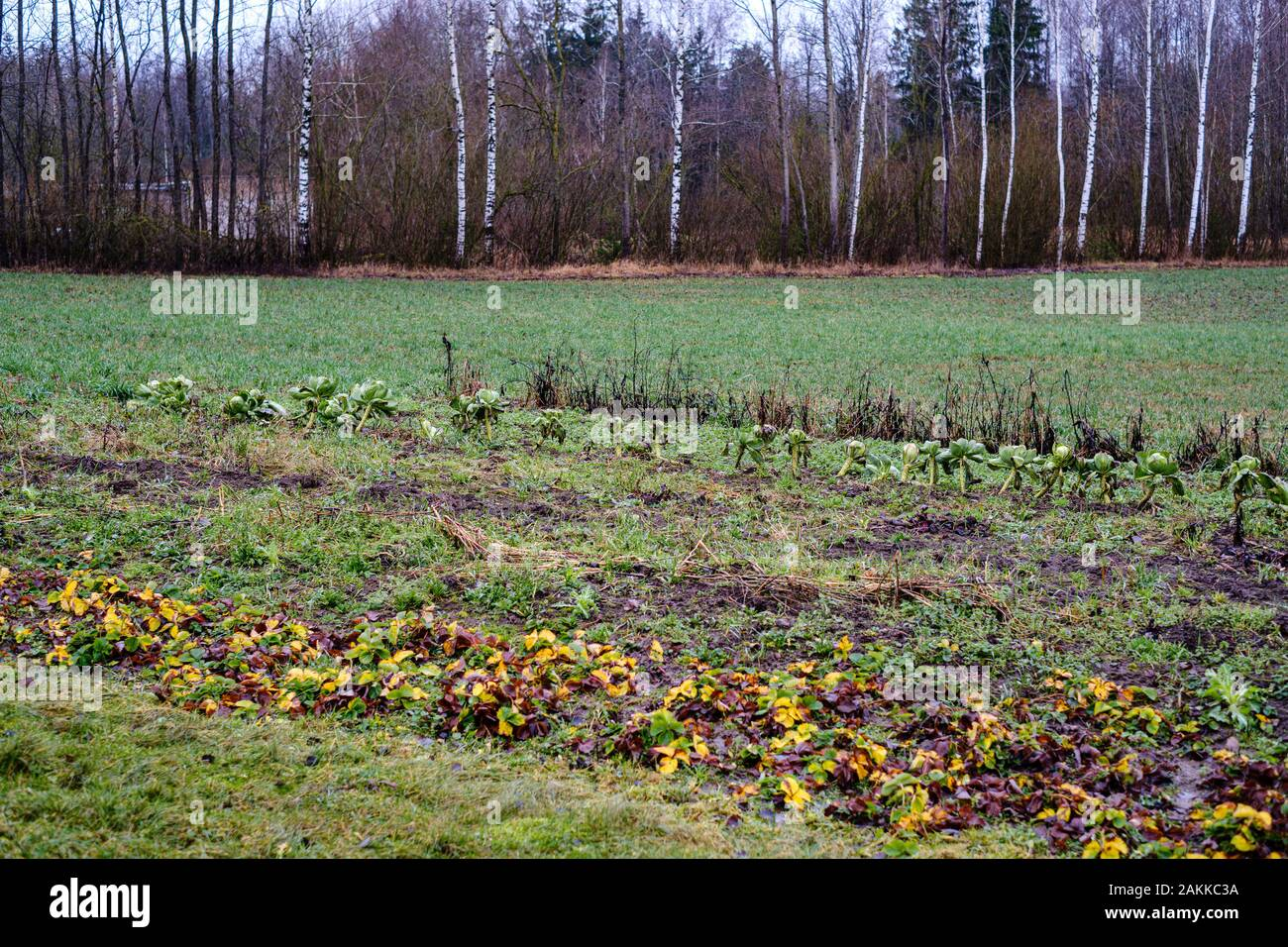 Late Garden In Autumn With Frozen Vegetables In The Field Stock