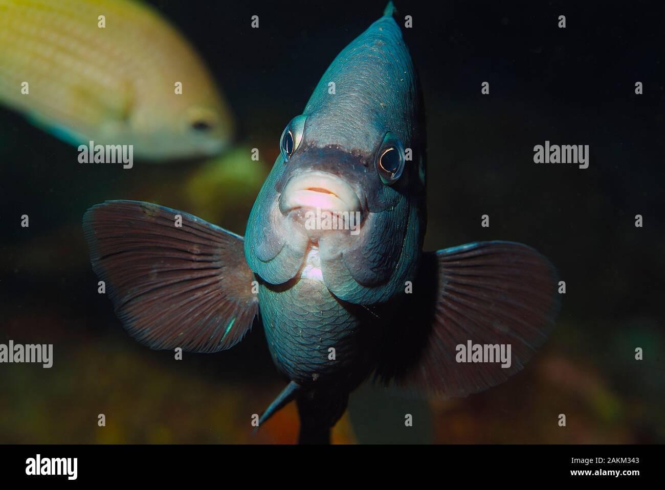 "Cape Damsel, Black White Damselfish, ""Similiparma hermani"", Palmeira, Sal Island, Cabo Verde Stock Photo"