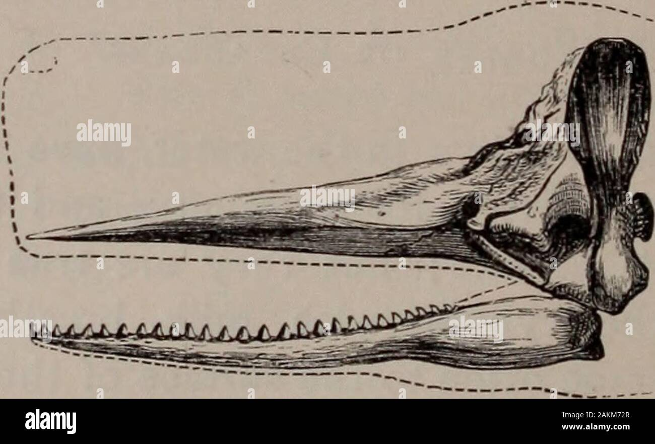 Natural History Of Animals Fig 71 Head Of The Sperm Whale Lower Has Teeth In The Upper Portion Of The Headthere Are Cavities Filled With Oil Which Hardens Whencool And Is