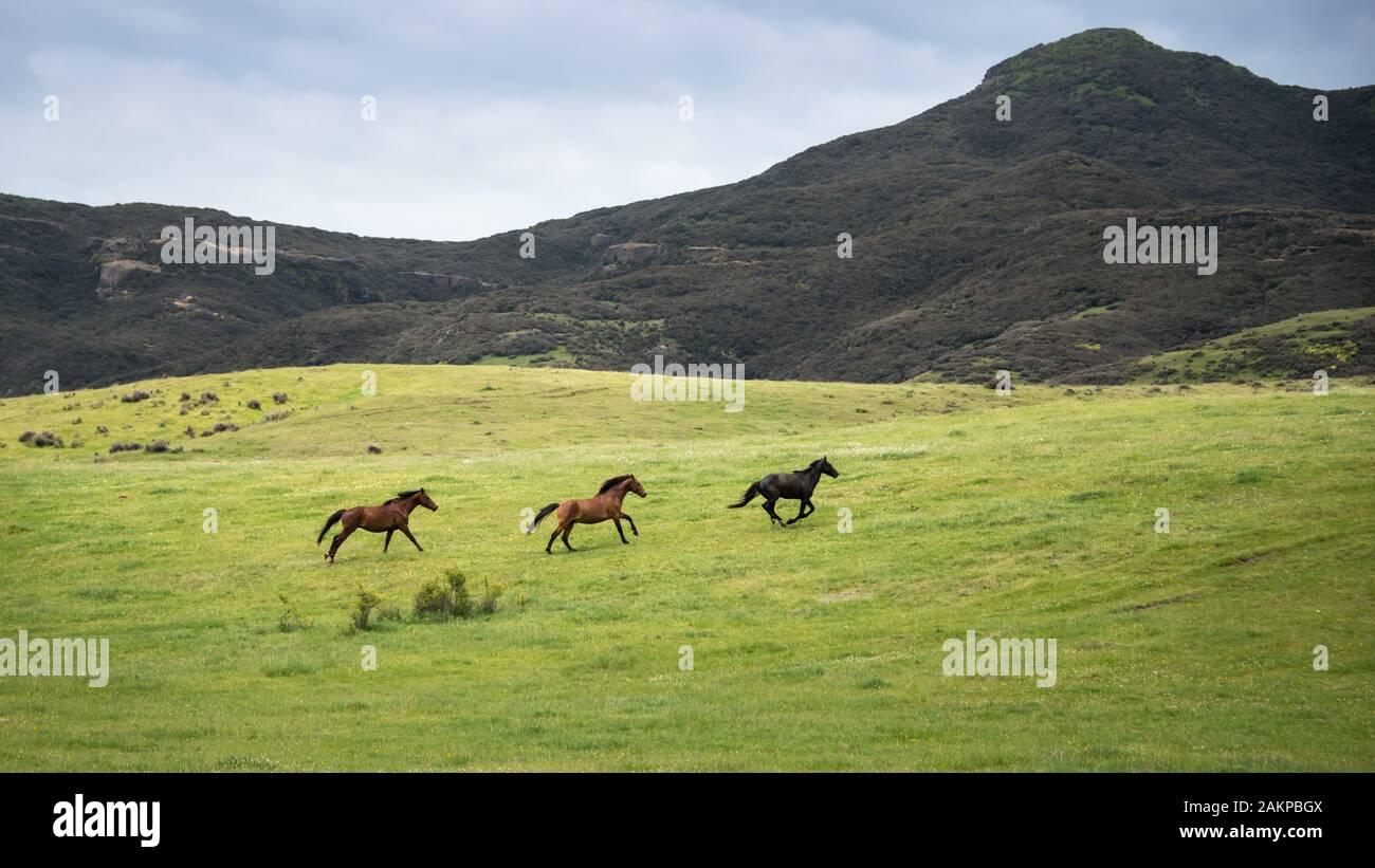 Three Wild Horses Running In The Kaimanawa Mountain Ranges Central Plateau New Zealand Stock Photo Alamy