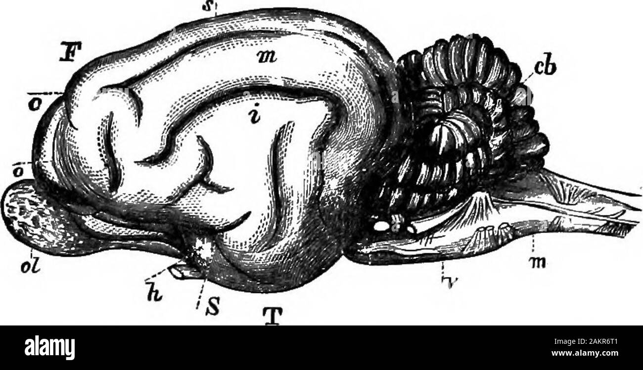 First lesson in zoology : adapted for use in schools . 226 FIRST LESBOm IN ZOOLOGY. the trunk. Moreover, the cat catches a mouse or bird bystriking at it with its outstretched claws. Hence, the. Stock Photo