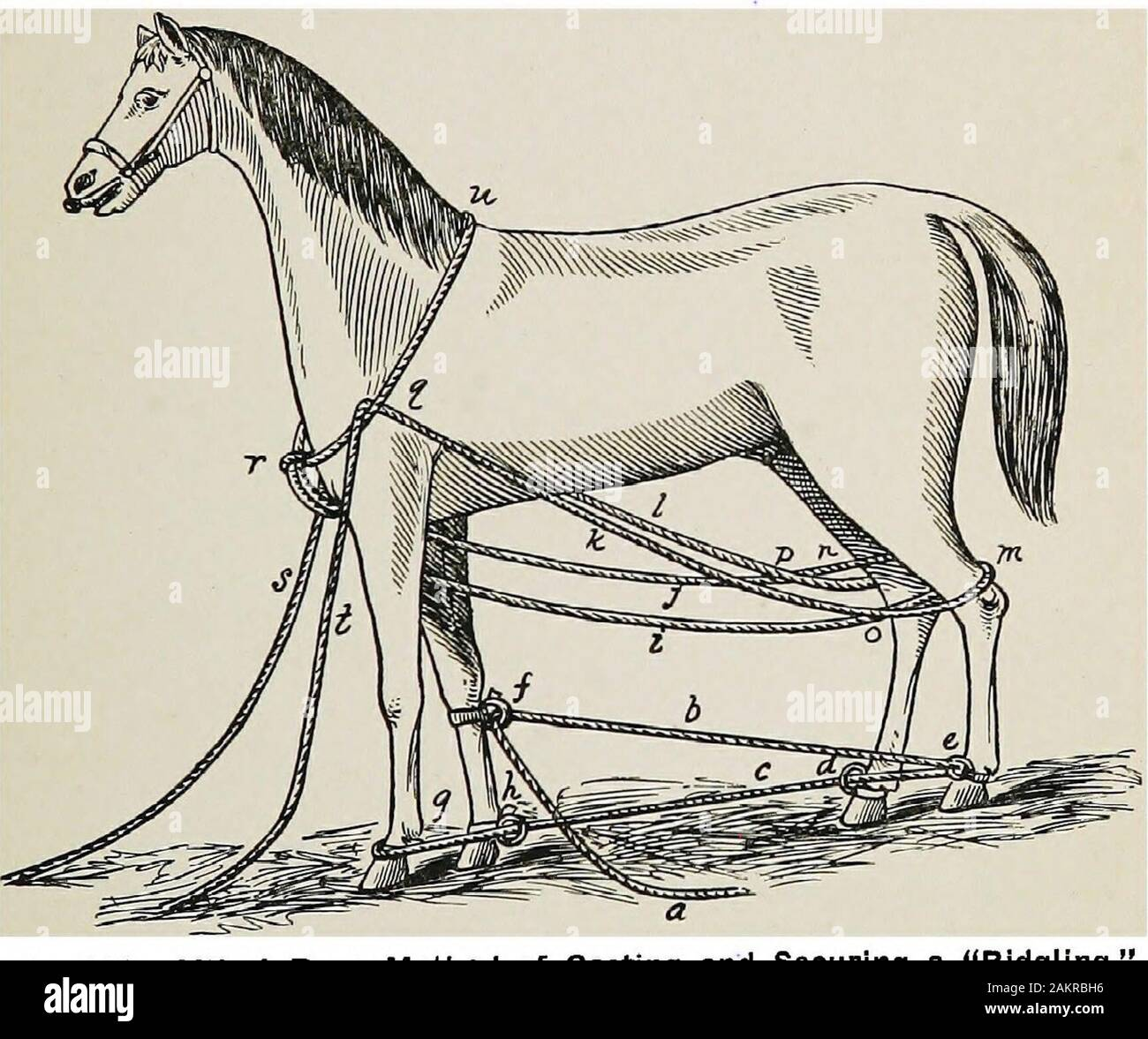 Restraint of domestic animals; a book for the use of students and practitioners; 312 illustrations from pen drawings and 26 half tones from original photographs . Fig. 160. Ordinary Double Side Line Ropes—;Horse Cast and Secured. CASTIITQ- AWD SBOUEING HAKSTESS AND EOPES. 137 rings. Cast in the ordinary manner. Alter casting the animalcan he secured by tightening main ropes until hind feet aredrawn well forward and down close to the abdomen, Figure160. The ropes are now fixed by taking two or more halfhitches around the hind pasterns; then pass-ropes over loinsand under back and fix by half hi Stock Photo