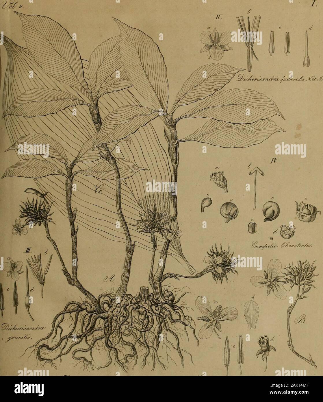 Nova acta physico-medica . cuminata villosa. Flores magnitudine atque figura eorundem Tradescantiaevirginicae j foliola calicina 3, externe villosa j petala calyceduplo longiora, tenera , obovata, basi angustiora, coerulea,raacula alba ad basin notata. Stamina calicis fere longitudine filamenta glabraj antherae lanceolatae, basi subsagittatae, flavae,apice coeruleae, dorso venosae, introrsum apice dehiscentes.Pistillum parvum, saepe abortiens. Saepe eliam paniculae in-veniunlur plane abortientes, quarum ne unus quidem flos adevolutionem pervenit, Fructus: Bacca, sive capsula baccata, non dehi Stock Photo