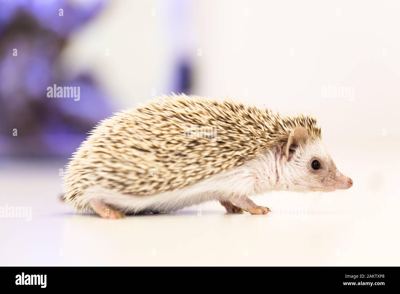 cute baby hedgehog pet on a white table isolated to a white background. Stock Photo