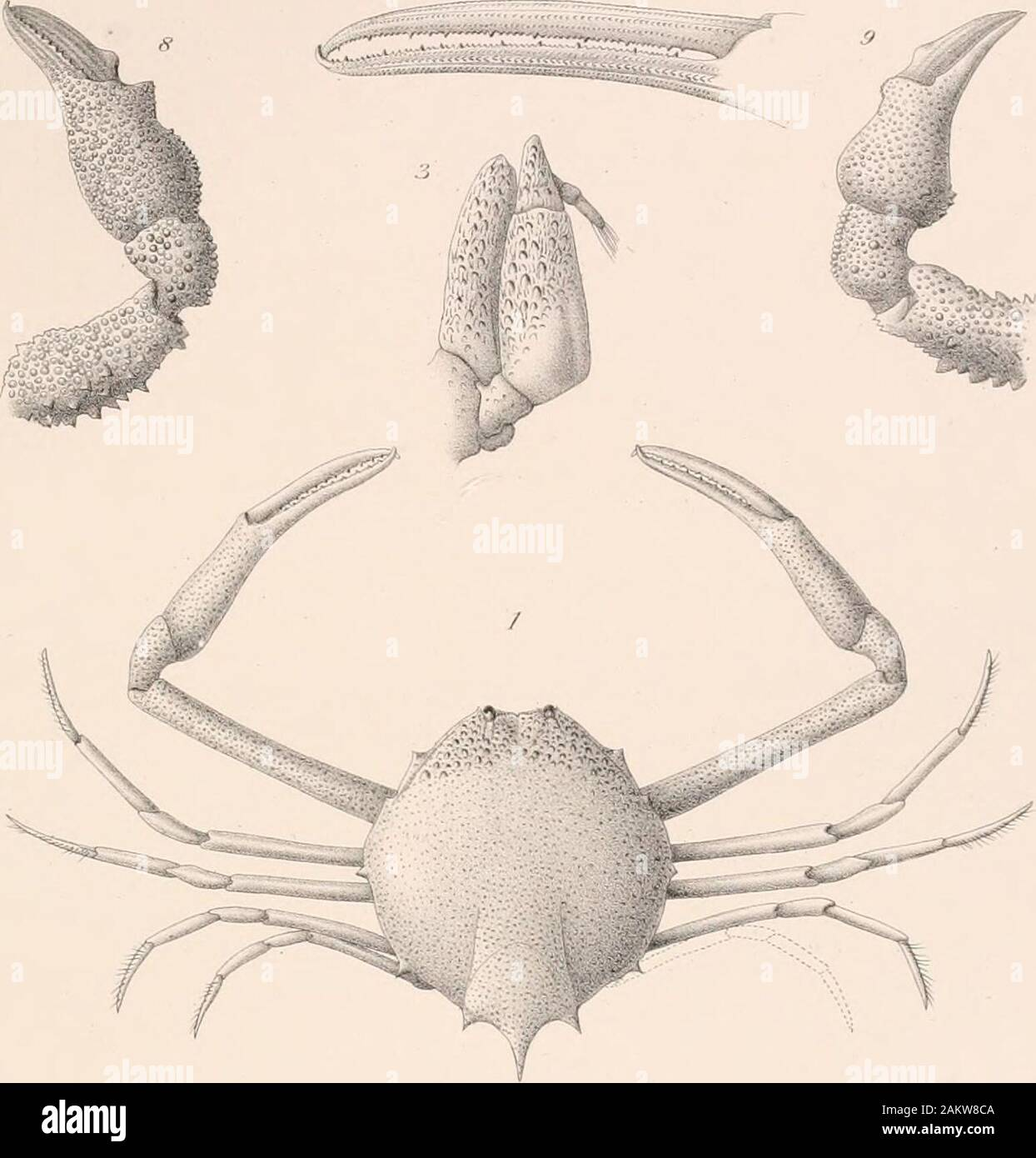 Memoirs of the Museum of Comparative Zoölogy, at Harvard College, Cambridge, Mass . E L Bouvier ad natd«I- Myropsis ooliath (1-3). Myropsis constricta (4-6). B Mesel in Bistpi PLAXCHE XXII. Myropsis coustricta A. Milne Edwakds. Fig. 1. Uii exemplaire male, face dorsale; Gr. IJ. Fig. 2. Eegion cephalique, face ventrale; Gr. 7^. Fig. 3. Patte-machoire posterieure droite, face ventvale ; Gr. 4. Fig. 4. Extremite de la pince gauche, face externa; Gr. 4. Fig. 5. Abdomen duu male, face exterue ; Gr. 2. Lithadia rotundata A. Milne Edwaih)s. Fig. 6. Region cephalique dune femelle, face ventrale ; Gr. Stock Photo