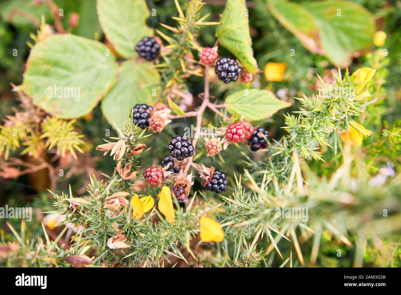 A bunch of redberries and blackberries hanging down with leaves in the background. vegetarian food concept Stock Photo