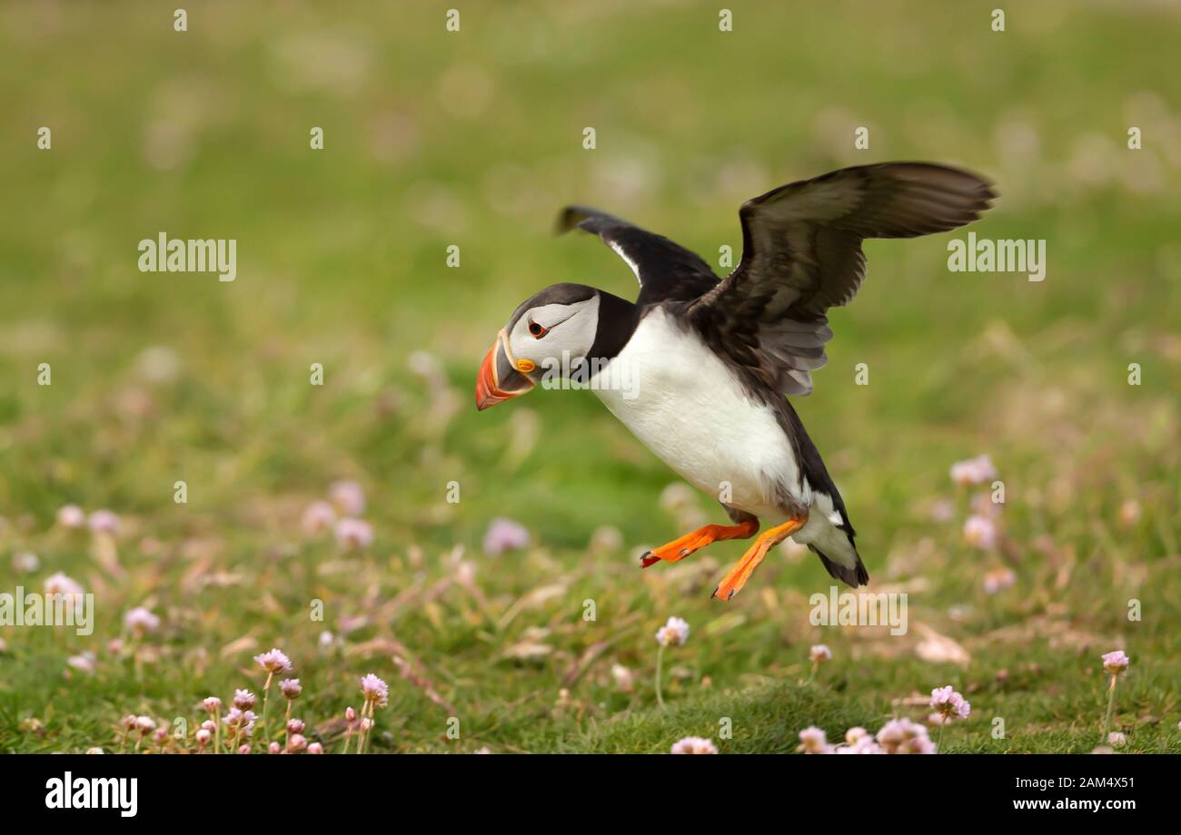 Atlantic puffin landing with the open wings, Noss island, Shetland Islands. Stock Photo