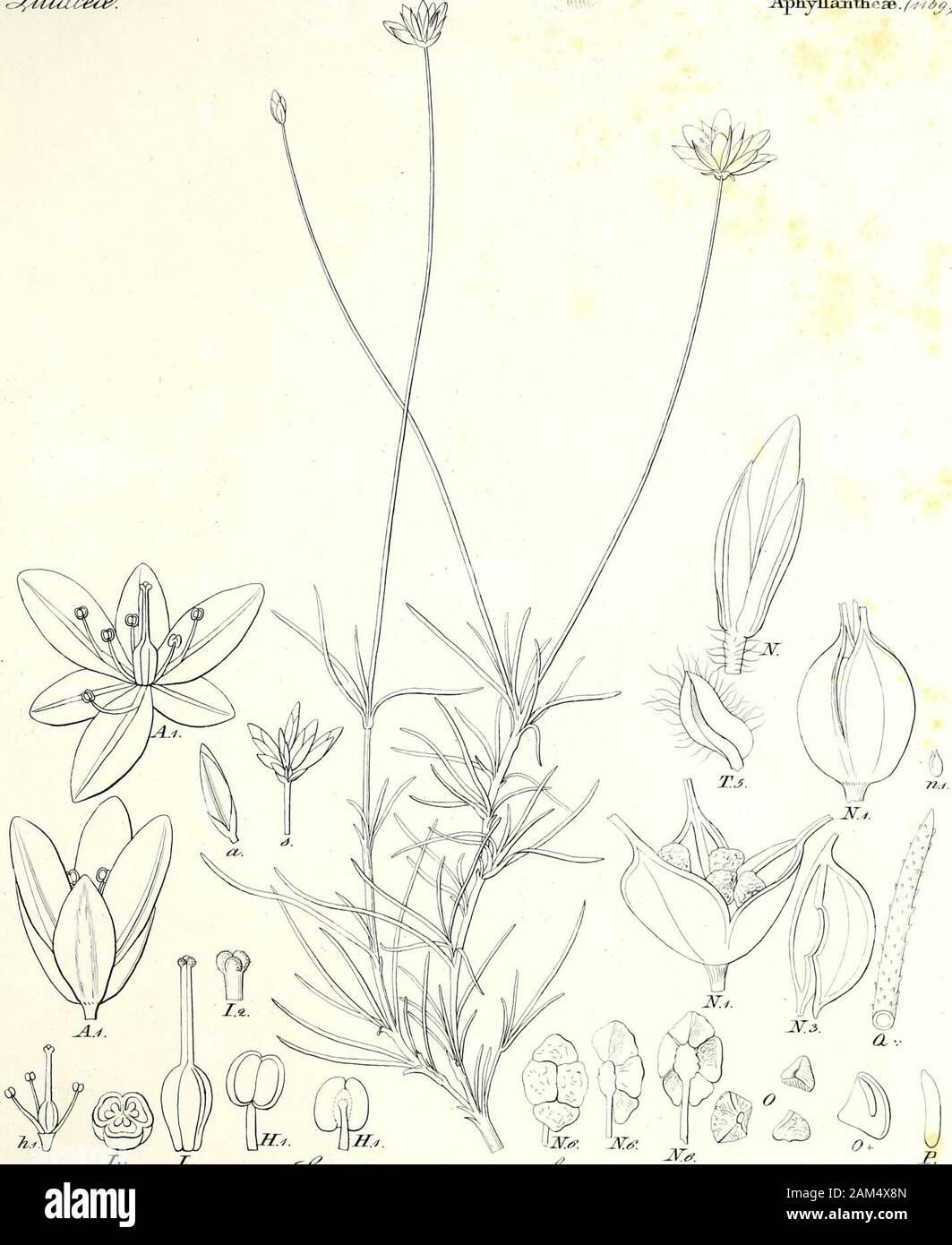 Iconographia generum plantarum . /></ c£Uuice€&. ,. ApkyHajifheae • /^^V. I. Z. Jpprz&; /&^za44s>* de-6< ==^^2^^^^^^^^^. cJ^x^; &<?&Jnz/y Stock Photo