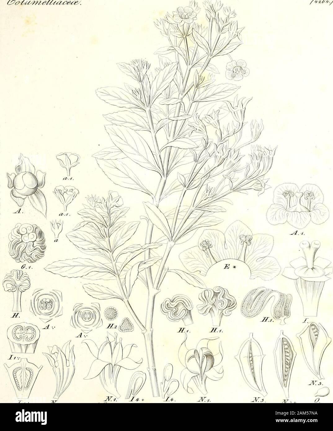 Iconographia generum plantarum . J>&6Suz^-=Fj &- /a3 J . &0i>U49t06U. .Z/ + Jr.    JV.i. ^> + JE+. JV.1. JVj Sffjs/LO^-fs a Js+J Hedyotideas./G-??*?/ Stock Photo
