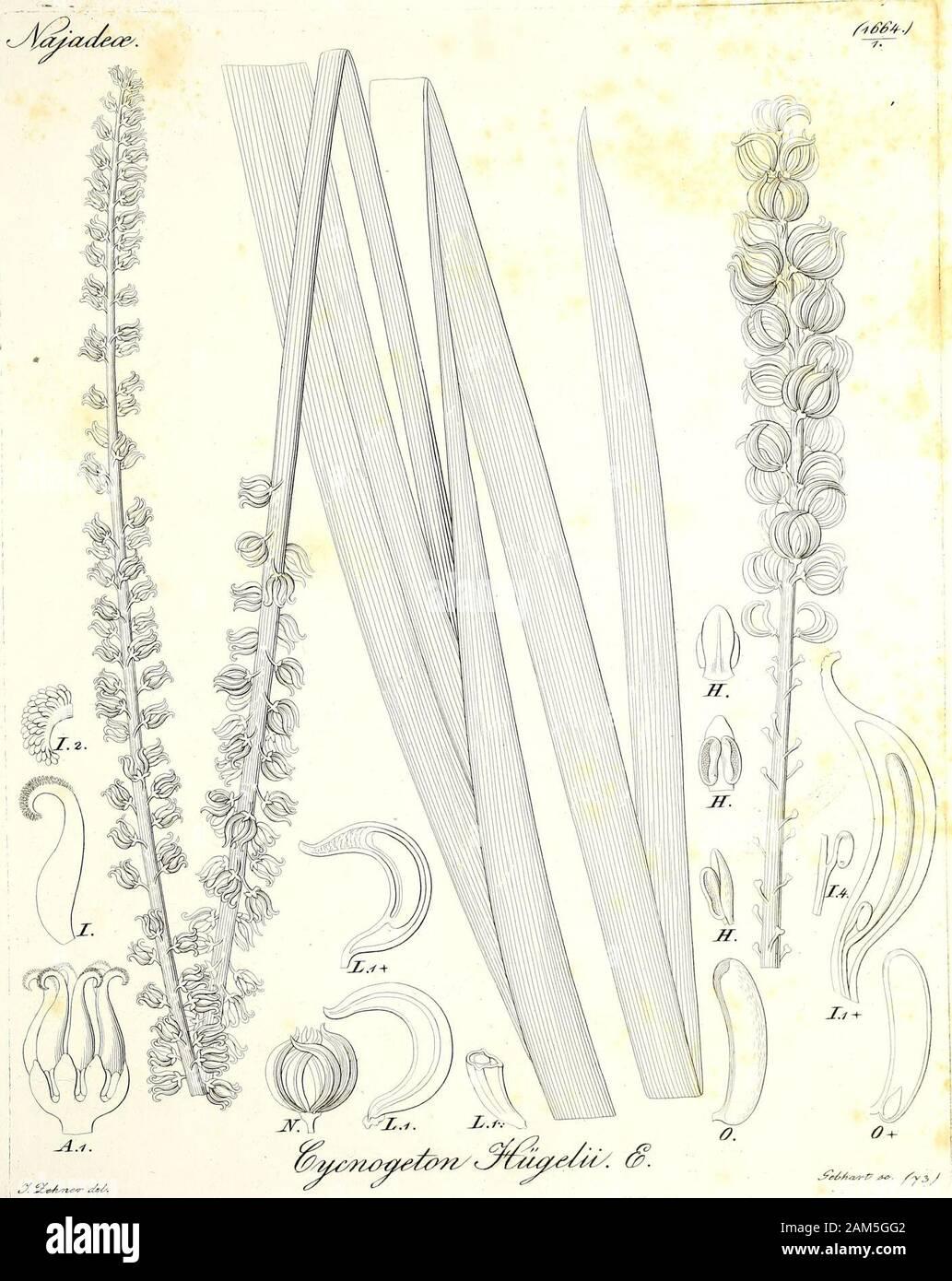 Iconographia generum plantarum . j£ ^vs&^/^/- ^. 3birfiJa#iZik^ s. /sWrAasrt Jc. /y 2,/. ytd-A&rt? <&& ? /y 3 J ^^Mi^autce^. Stock Photo