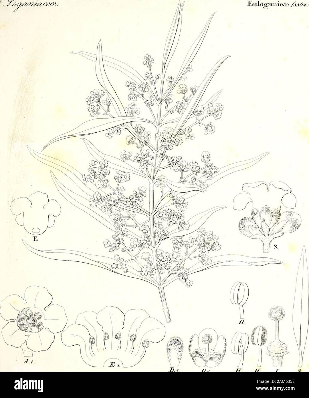 Iconographia generum plantarum . (toi i.iyu4t£esr£cs>k e&? ^i&t), dtC, ryV?i£dn/w JidotHisJ/t^ . fSf/r/i<l /<*<?, J&ma/nuu&ce/. Eulogcmieae ./jjtfp. ^J. Stock Photo