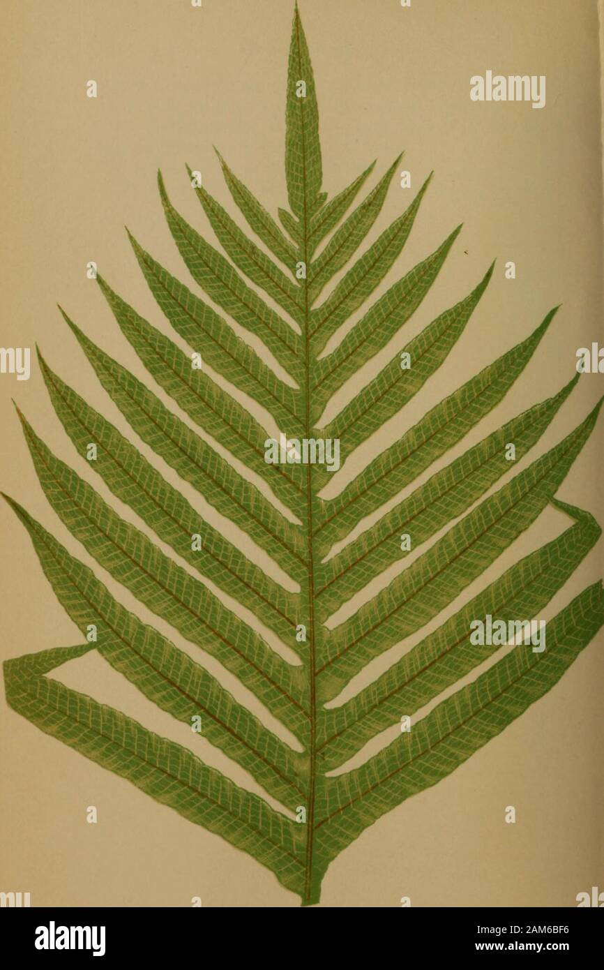"RARE Drynaria rigidula /'White/' 6/"" basket SPECIES FERN   NEW GROWTH"