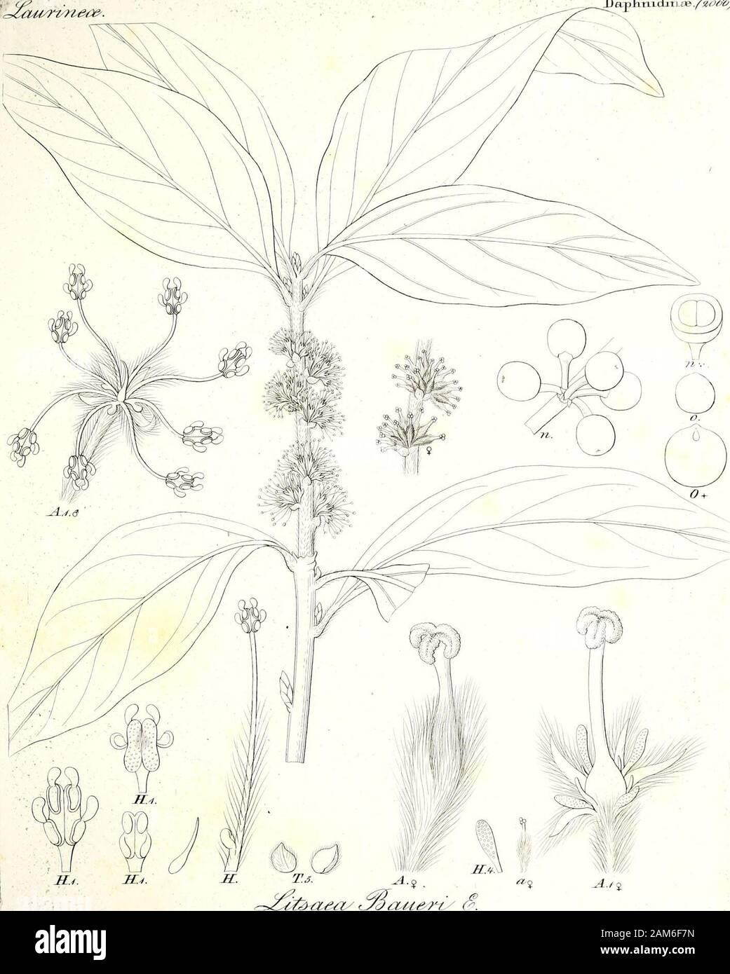 Iconographia generum plantarum . S&r&. JlWau&n/e/. <^yr&msrjiuJ MAenoftJ&ruj <3l.M< /W DapTi-niclaTLoa/^^bV .. f| JSer^/i^t^-t- *m /*v . <& ^ioyjj Stock Photo