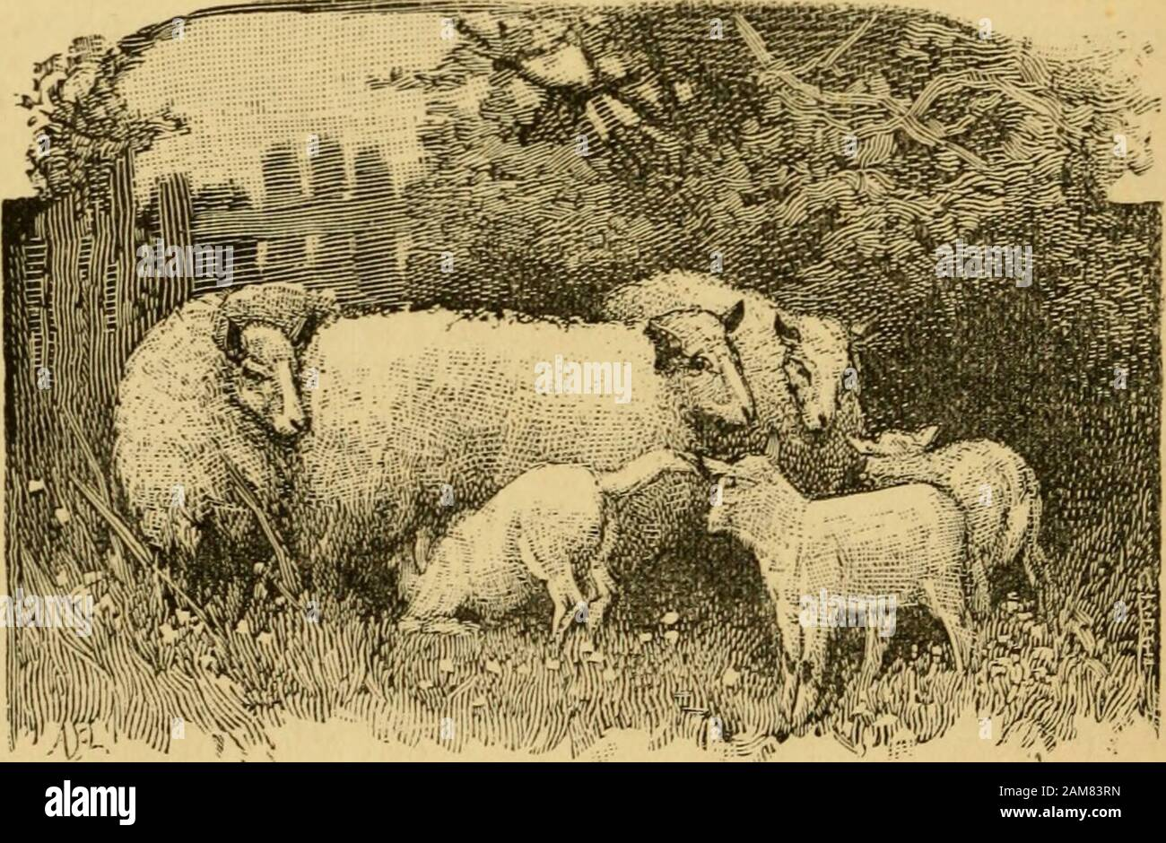 Sheep Breeds And Management Australian Merino Wool About 4in Long And Of Fine Appearance But Not So Dense In The Pileas The Saxony Rambouillet Nor Yet So Full Of Fat I6