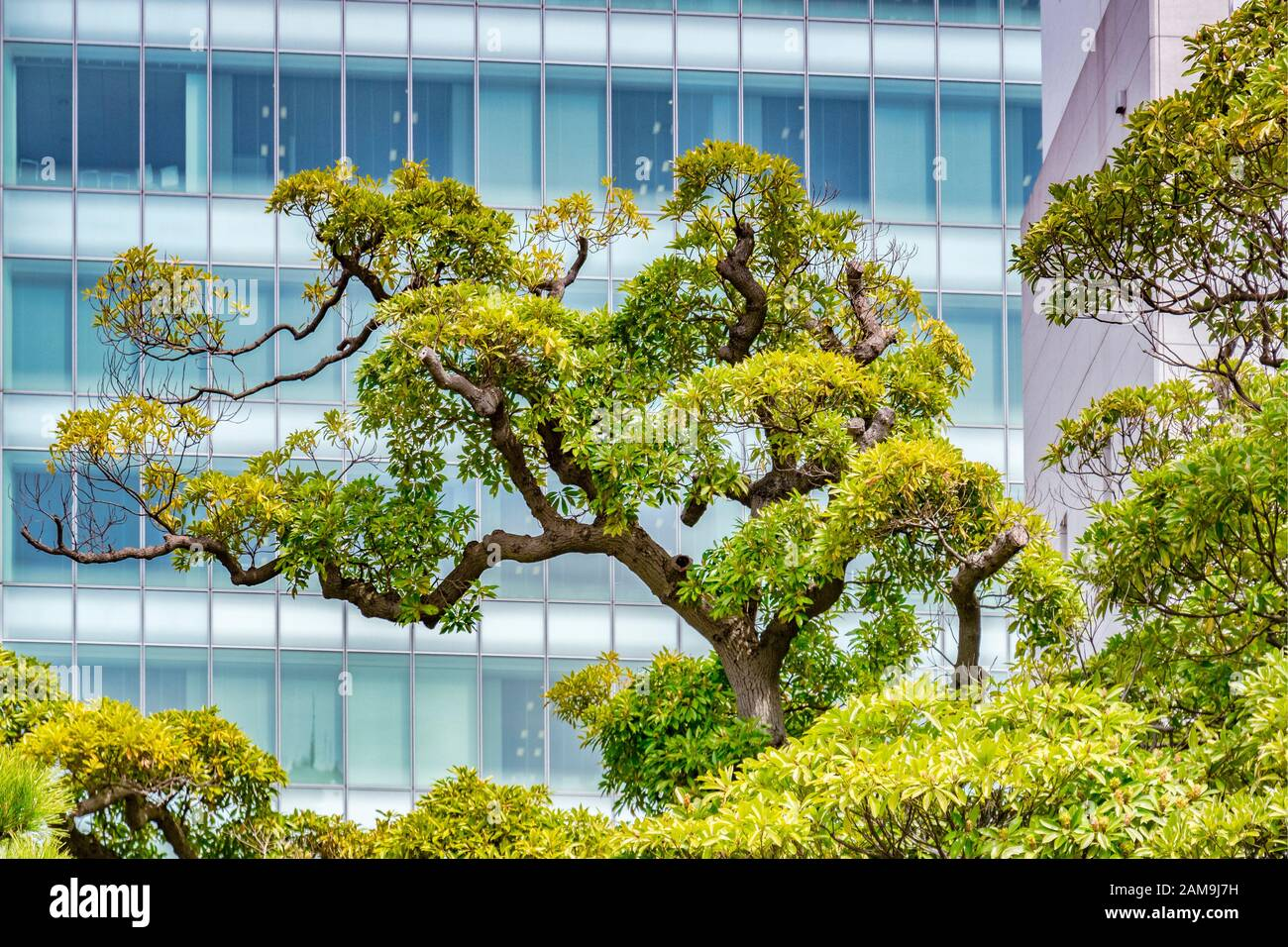 5 April 2019: Tokyo, Japan - Topiary tree in the centre of the city, with moderm high rise glass building behind it. Traditional and modern sights of Stock Photo