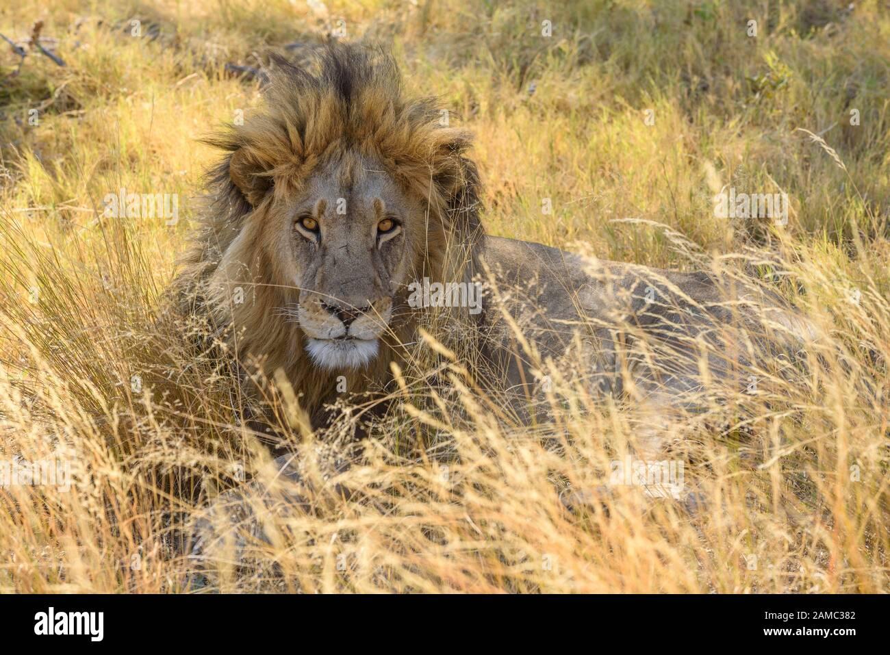 Male Lion, Panthera leo, in long grass, Macatoo, Okavango Delta, Botswana Stock Photo