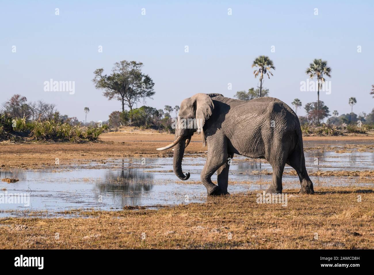 Male African Elephant, Loxodonta africana, wearing a tracking collar, Macatoo, Okavango Delta, Botswana Stock Photo