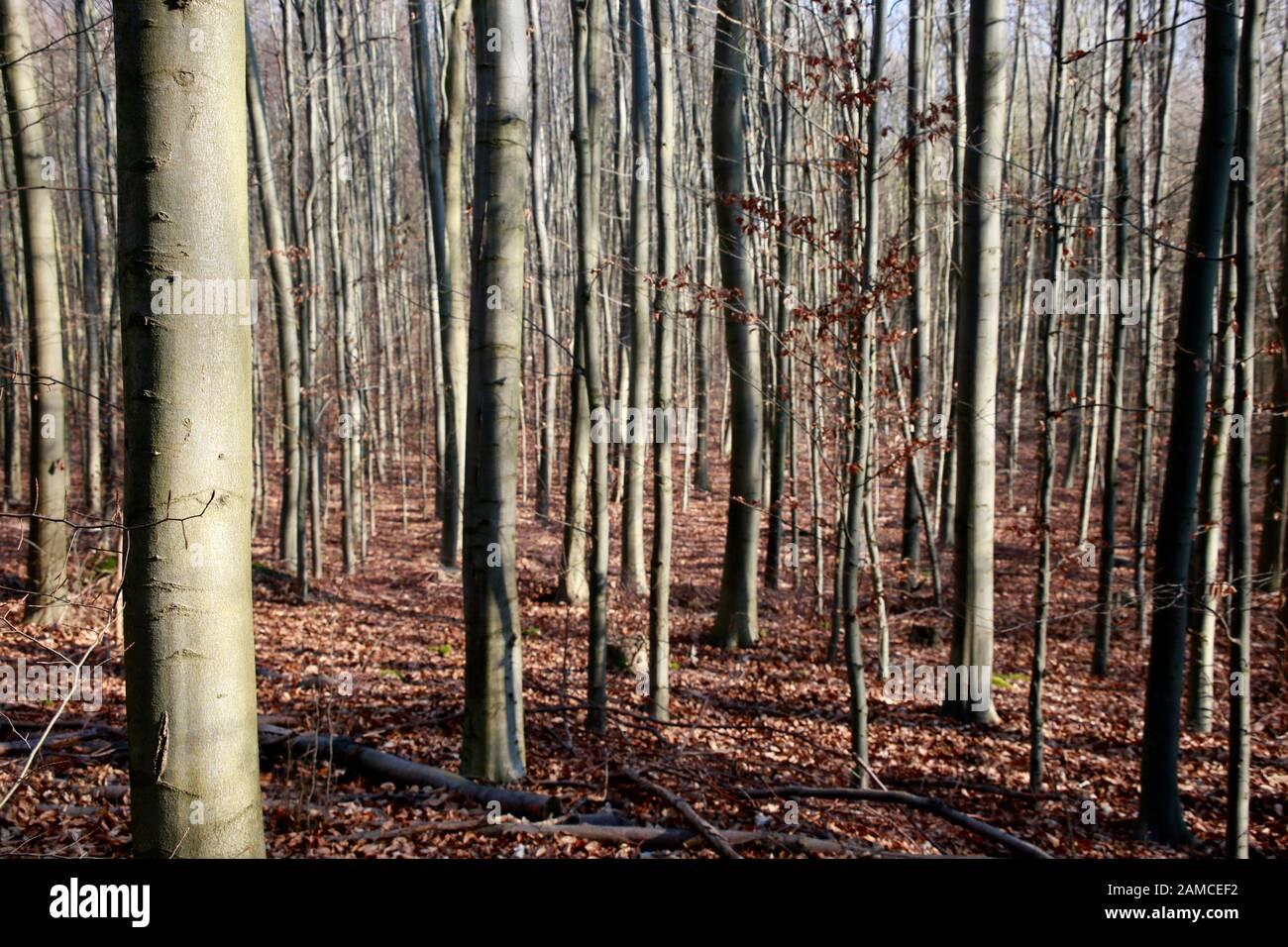 Buchen-Wald im Naturpark Kottenforst-Ville, Brühl, Nordrhein-Westfalen, Deutschland Stock Photo