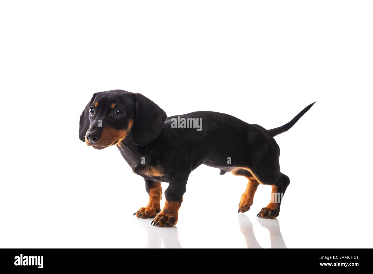 Page 3 Sausage Dog Puppy High Resolution Stock Photography And Images Alamy