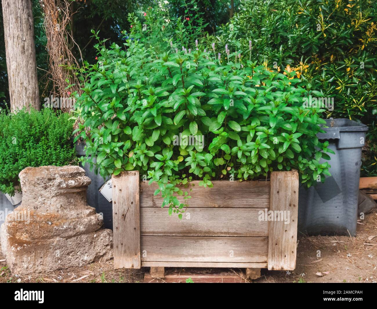 Plant De Menthe En Pot mentha spicata pot stock photos & mentha spicata pot stock