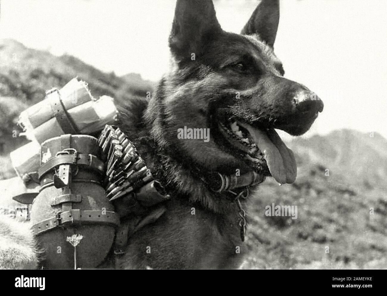 Old German Shepherd Dogs High Resolution Stock Photography And Images Alamy