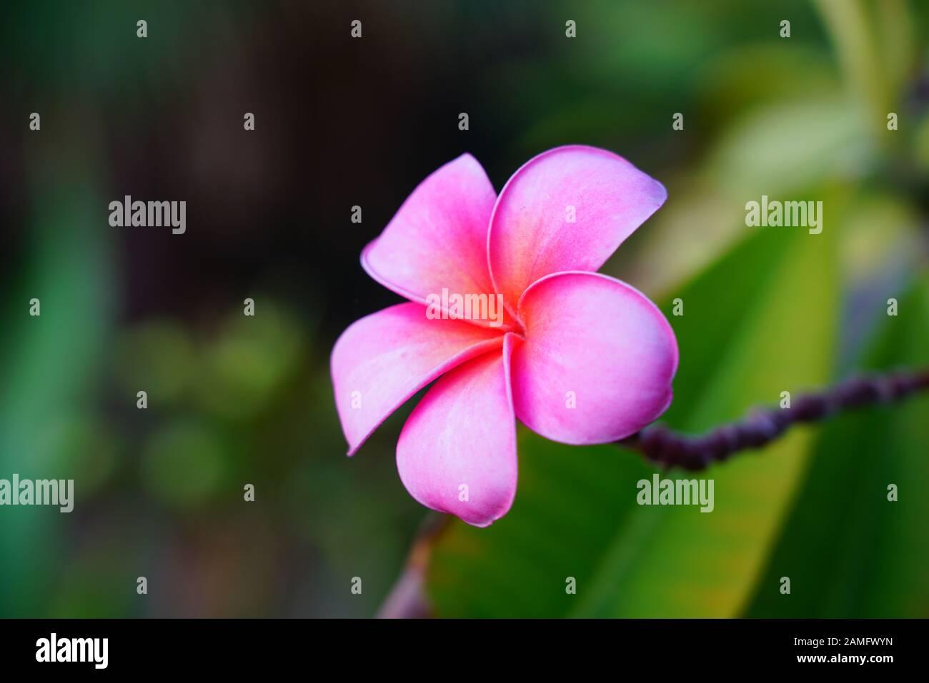 "Plumeria//Frangipani//Flowers///""Madame/""//50 seeds"