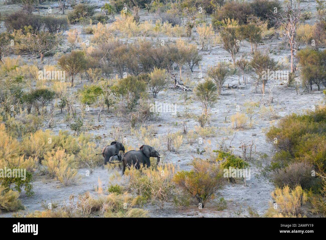 Aerial view of African Elephant, Loxodonta africana, seen from a hot air balloon ride, Bushman Plains, Okavanago Delta, Botswana Stock Photo