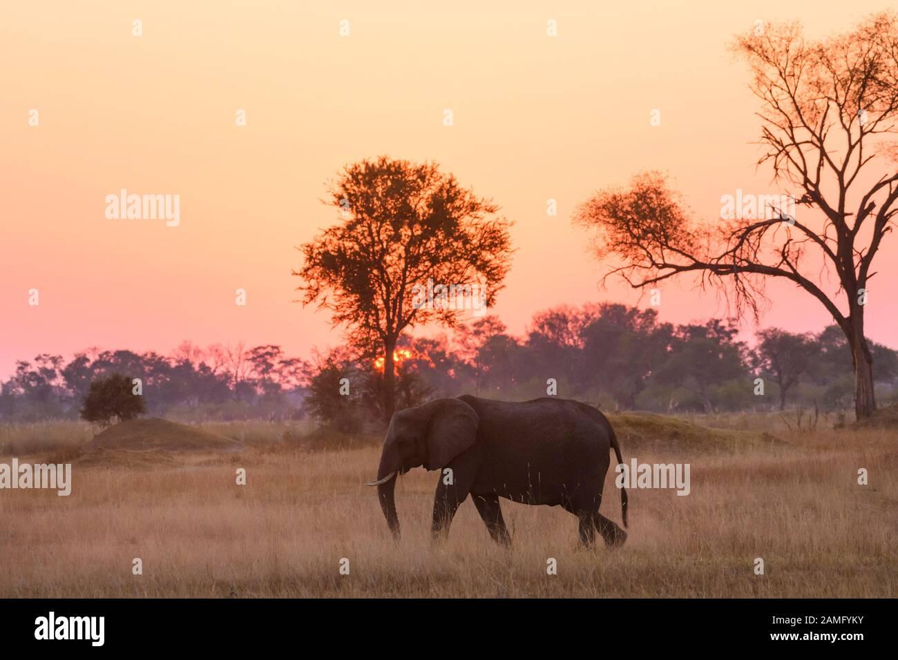 African Elephant, Loxodonta africana, at sunset, Khwai Private Reserve, Okavango Delta, Botswana Stock Photo