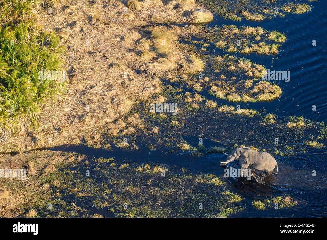Aerial view of African Elephant, Loxodonta africana, crossing the water, Macatoo, Okavango Delta, Botswana Stock Photo