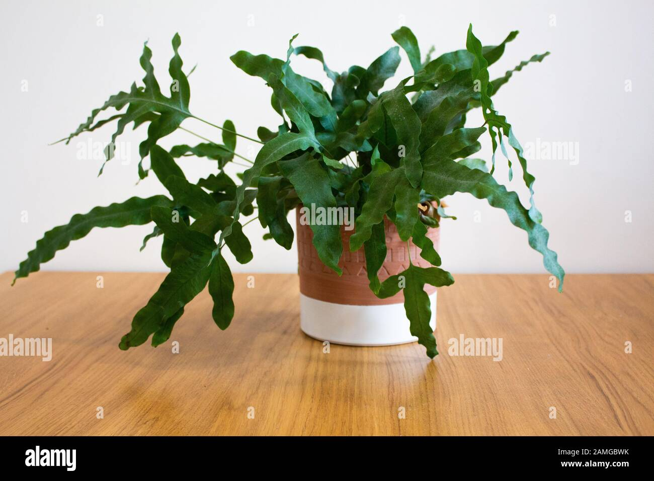 Blue Star fern plant in decorative pot against white background Stock Photo