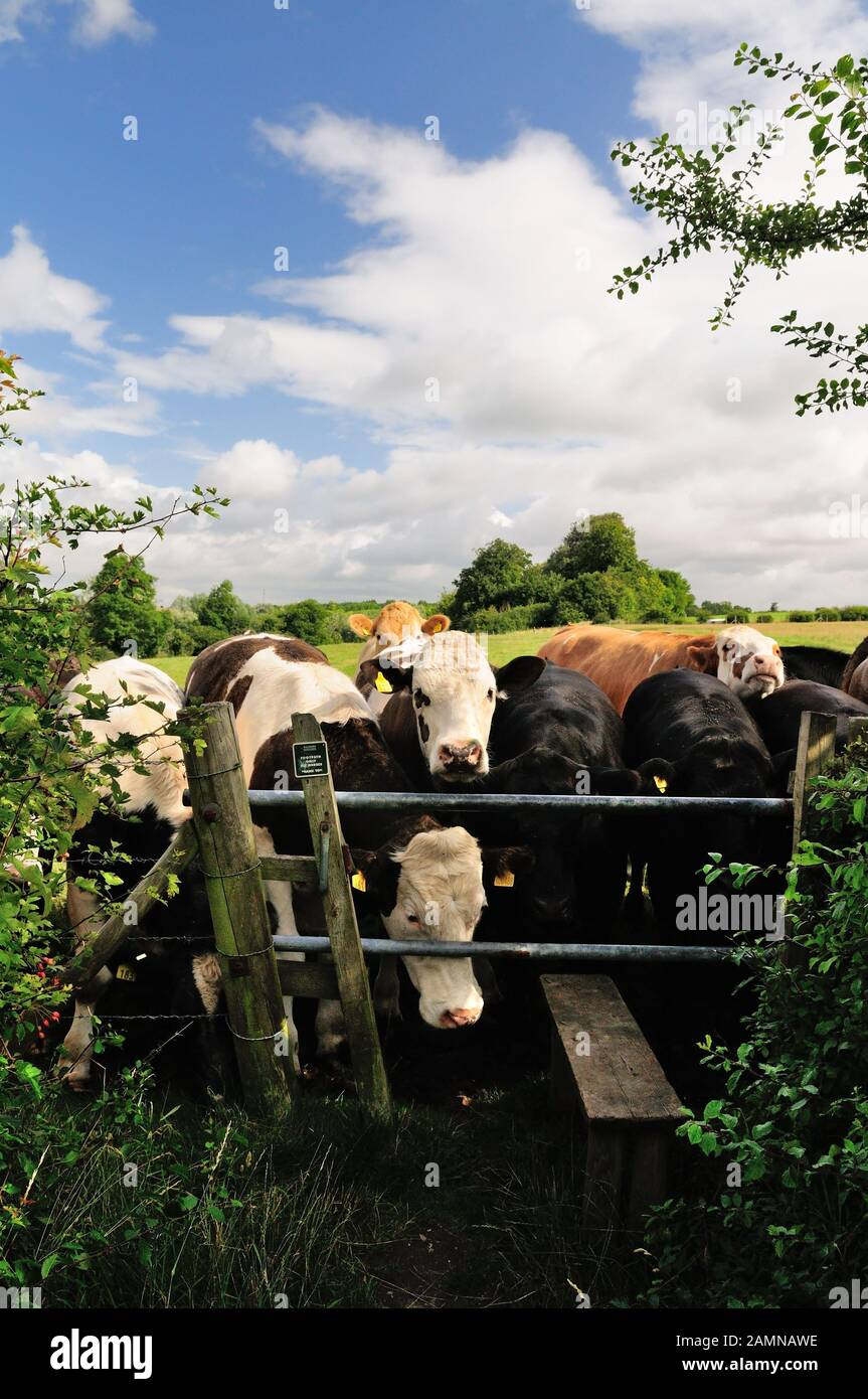 A herd of cattle blocking a public footpath at a stile. Stock Photo