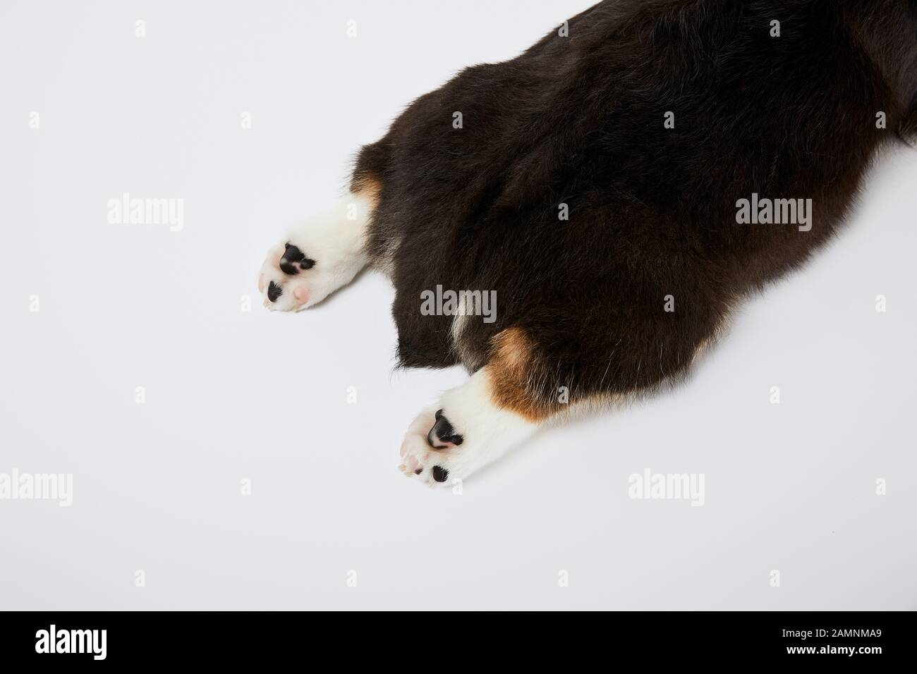 Cropped View Of Welsh Corgi Puppy Paws And Tail Isolated On White Stock Photo Alamy