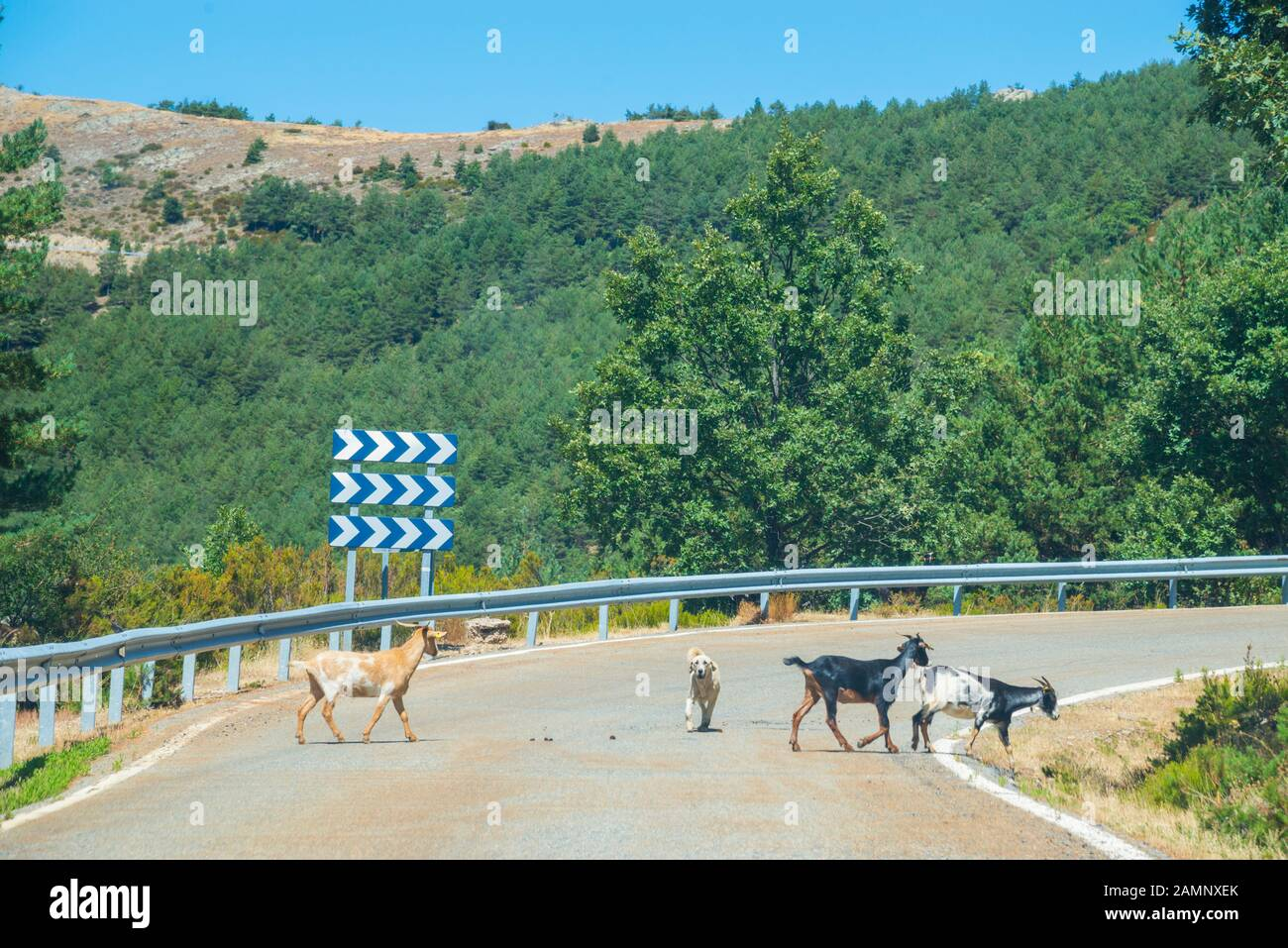 Group of goats crossing a road. Stock Photo