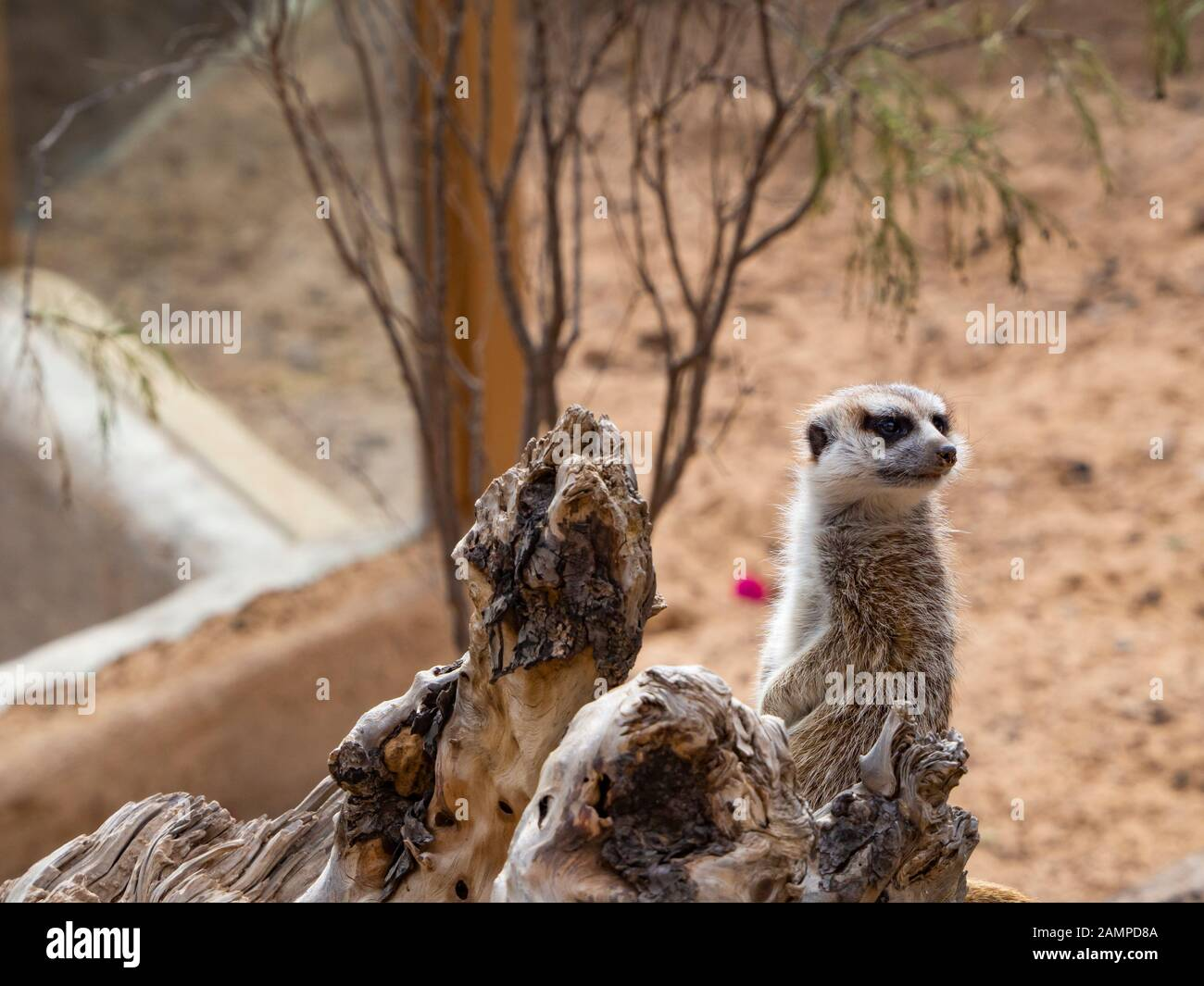 a meerkat next to a rock Stock Photo