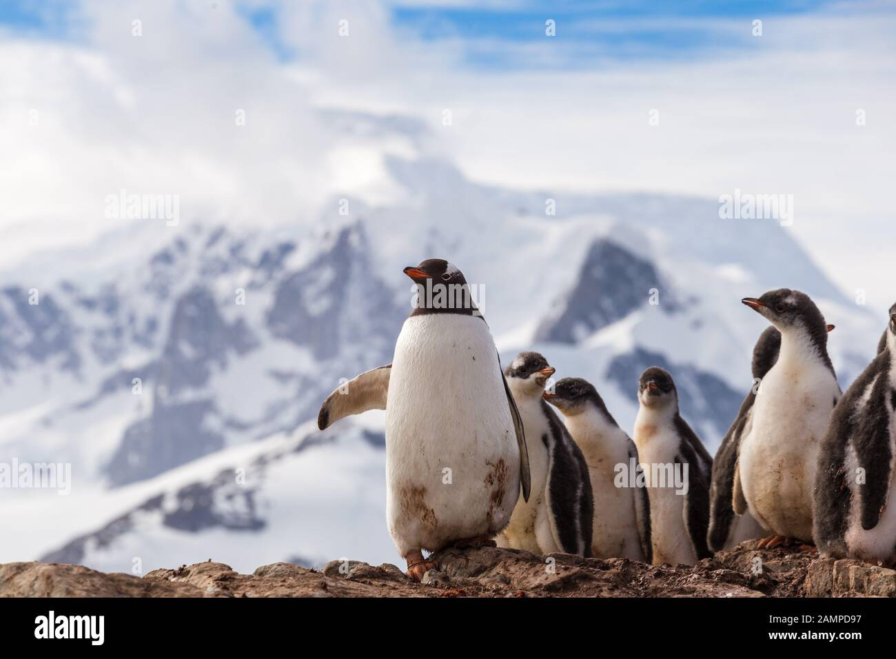 Group of chick penguins on the stone nest on the Antarctica background. Gentoo baby, Argentine Islands antarctic region Stock Photo